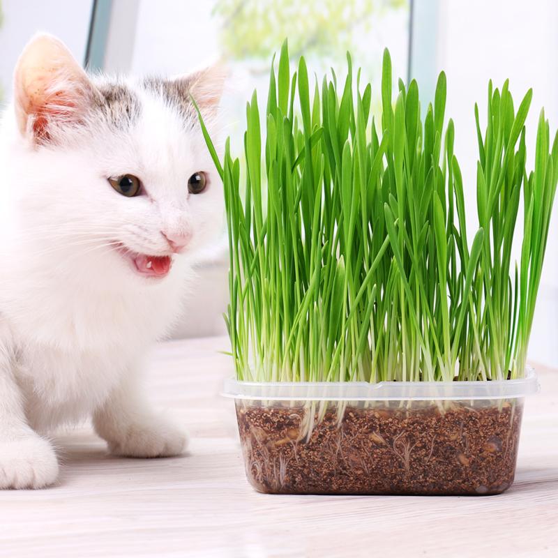 猫草种子薄荷粉猫零食